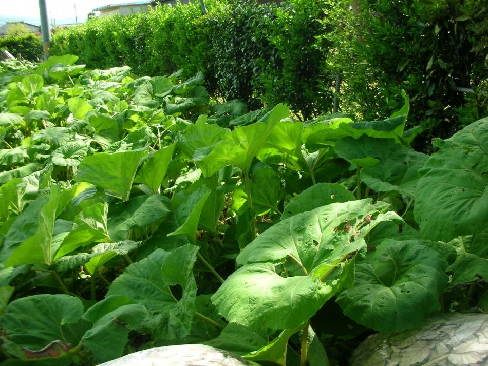 「友江ふき」の収穫